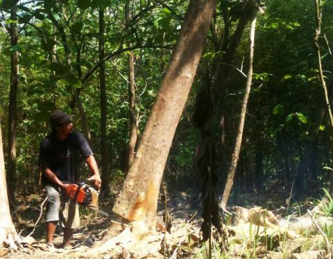Legal timber – A resident cuts jati, a kind of hardwood tree, in a people's forest in Mranggen, Demak regency, Central Java. (thejakartapost.com/Suherdjoko)